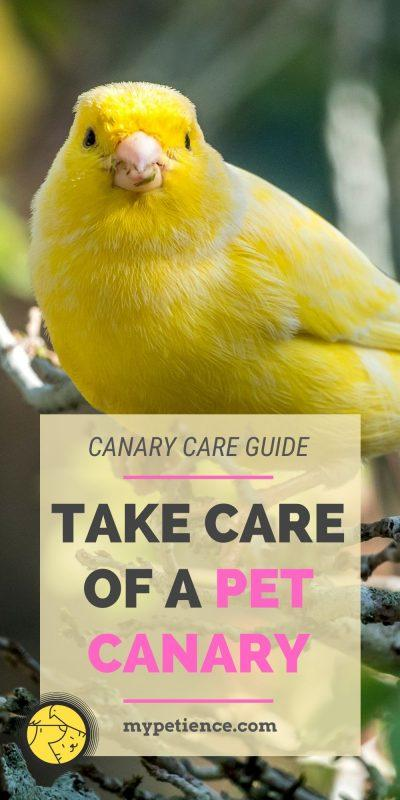 The secret of making your pet canary is by providing it proper canary care.