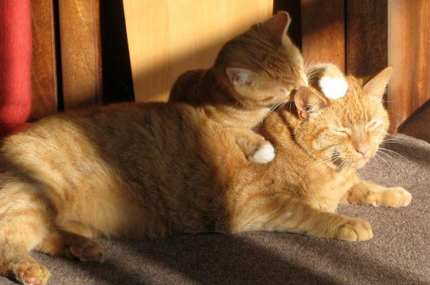 Cat Grooming, why do cats groom each other, cat grooming services, cat grooming prices