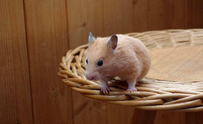 behavior of hamsters, Why do hamsters run on wheels,