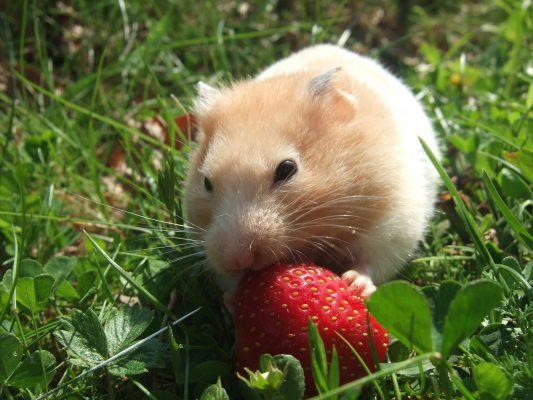 Hamster Breeds, Best Hamster Breed, Types of Hamster Breeds, Friendliest Hamster Breed