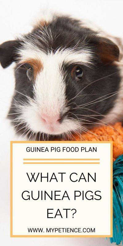 Choosing a good guinea pig food is important for your pet.
