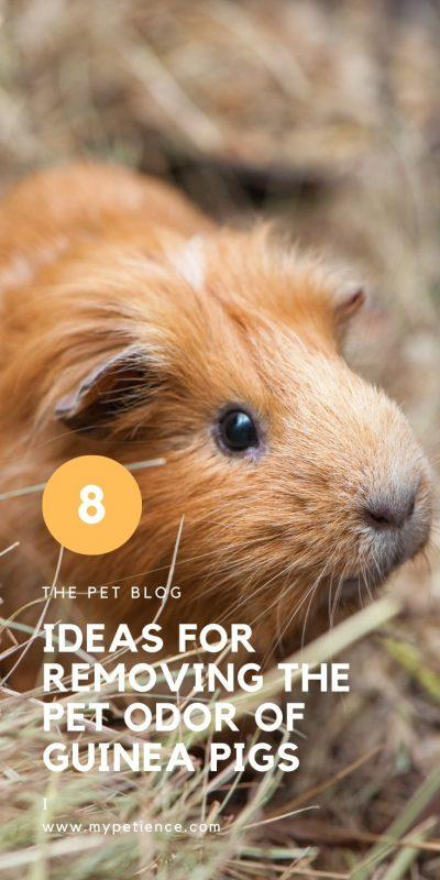 do guinea pigs smell bad and how to get rid of pet odor?