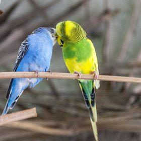 How Long Do Parakeets Live in the Wild and Captivity?