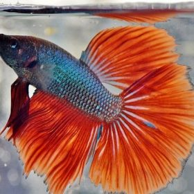 Breeding Betta Fish - Easy Guide on How to Breed Betta Fish
