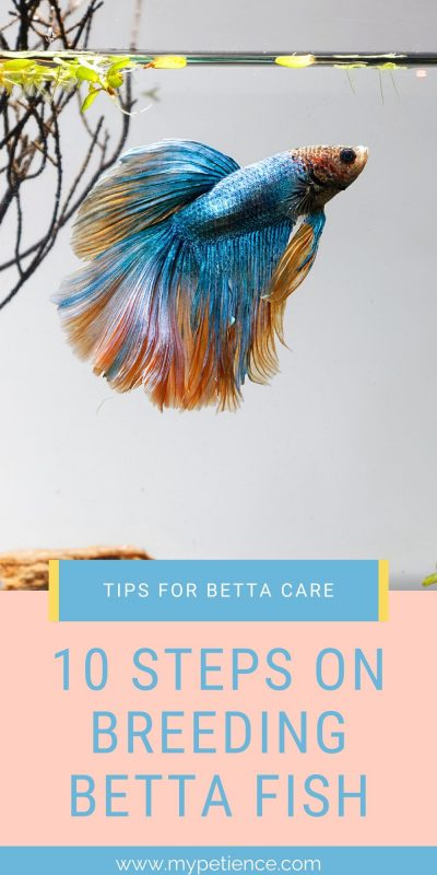 Breeding betta fish is not an easy task, let us discover the step by step methods to you.