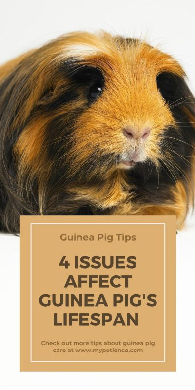 How long do guinea pig live? You may find the answer about the guinea pig's lifespan in this post.