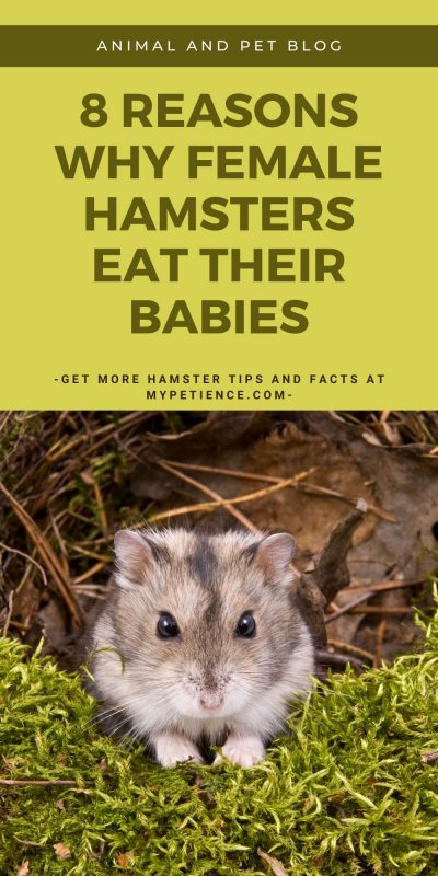 why do hamsters eat the cute baby hamsters? Find out the answer here.