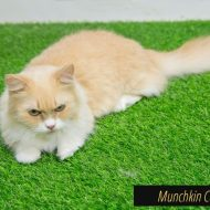 Nine Small Cat Breeds That Are Best to Own