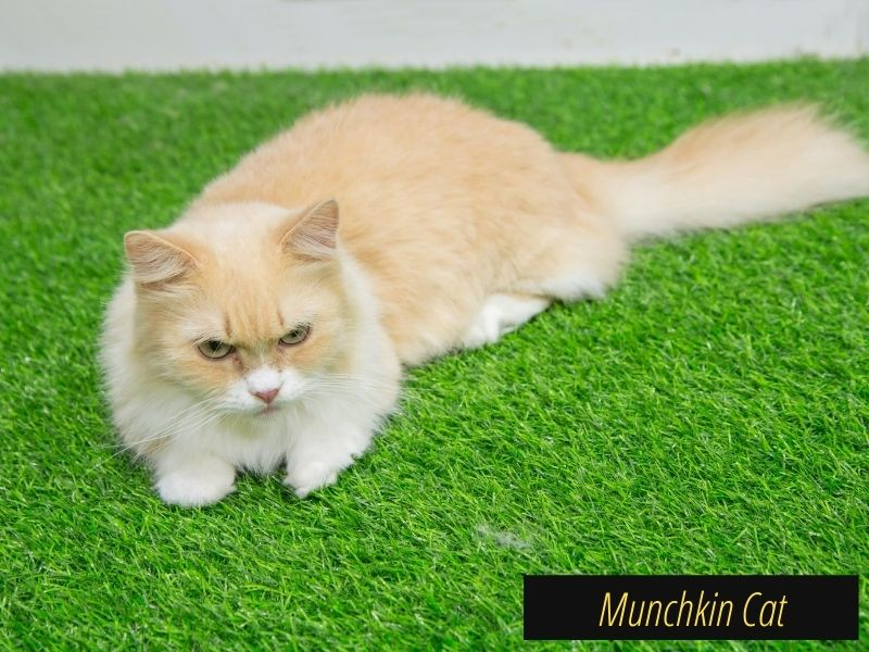 Small cat breeds, Small cat, Smallest cat breed