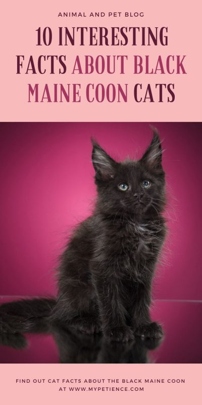 There are a lot of things that people might not know about about black maine coon cats. Find out those cat facts here.