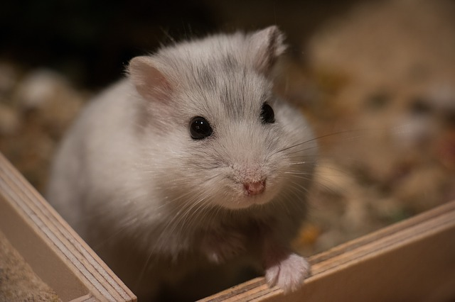 Hamster's Lifespan, how long do hamsters live, how long does a hamster live