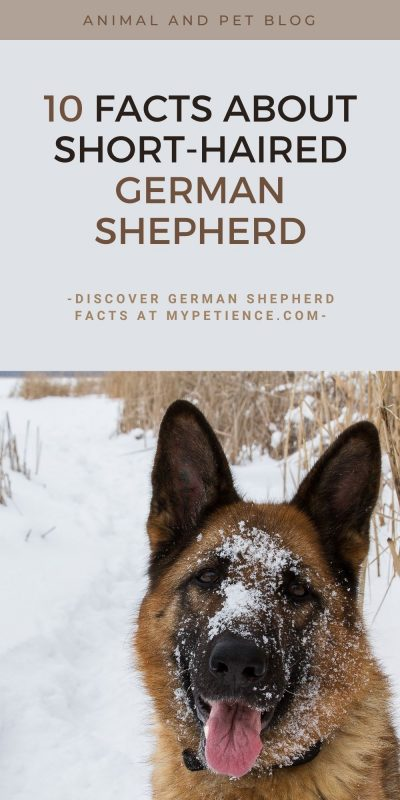 Short-haired German Shepherd is not a common pet for everyone and it's great for dog training.