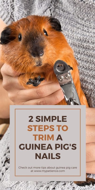 how to trim guinea pig nails is an important aspect of guinea pig care.