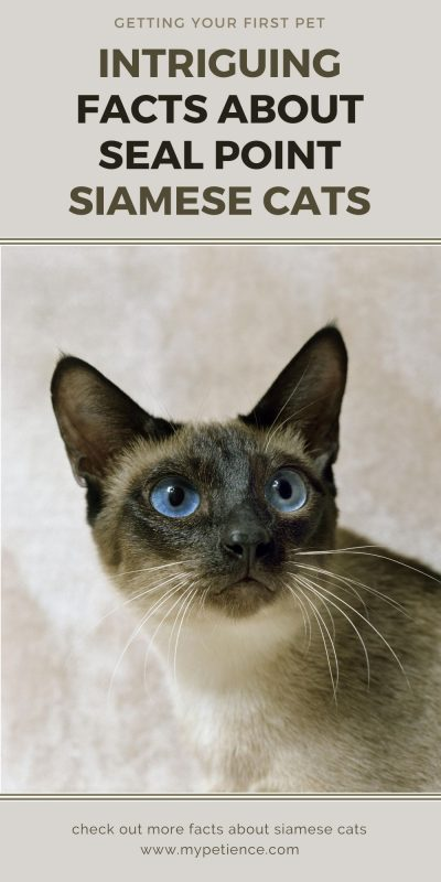 The Seal Point Siamese cat is adorable and smart, it's an affectionate pet for sure.
