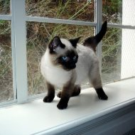 Seal Point Siamese - The Best Cat Breed to Own?