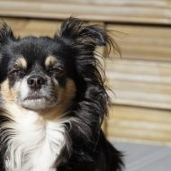 Long-haired Chihuahua - 10 Things You Didn't Know