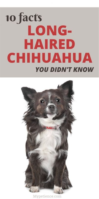 Are you interested in buying a long-haired Chihuahua dog? Check out this post before you make a decision!