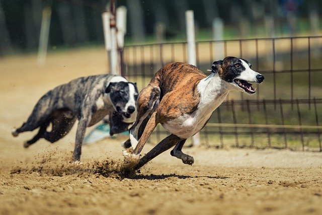 how fast can a dog run
