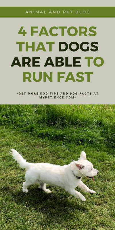 How fast can a dog run? Well, the result varies for each dog breed.