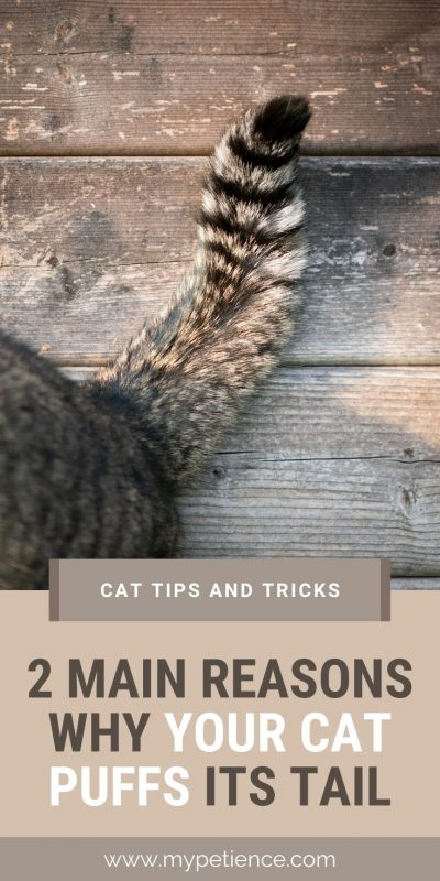 what are the reasons your pet cat puffs its tail? Check out the answer here, we have cat tips and tricks for you.
