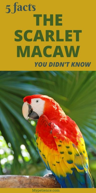 Discover the facts about Scarlet Macaw Parrot here.