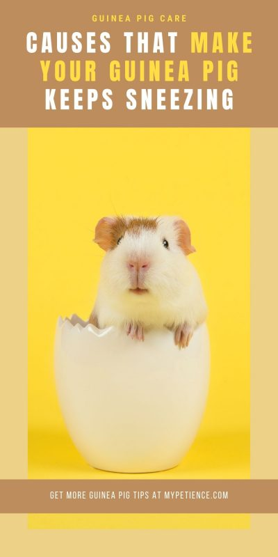 Discover the tips about guinea pig care that what you should do when your guinea pig is sneezing a lot.