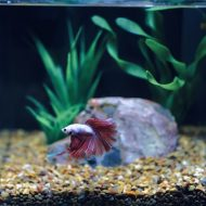 How Long Can Betta Fish Go Without Food?